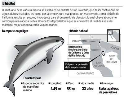 Vaquita marina ('Phocoena sinus'). Gráfico: Cicese