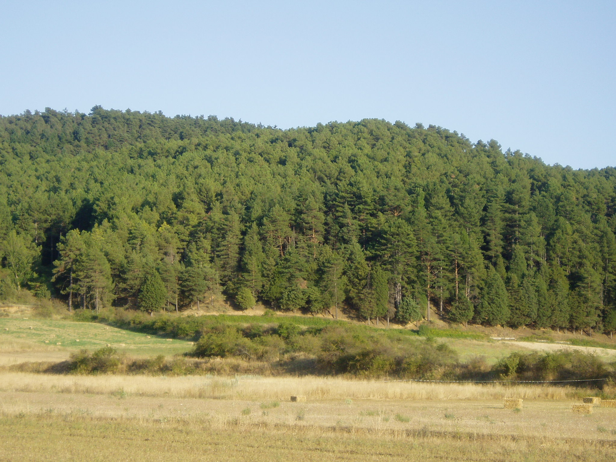 Bosque de pinos.
