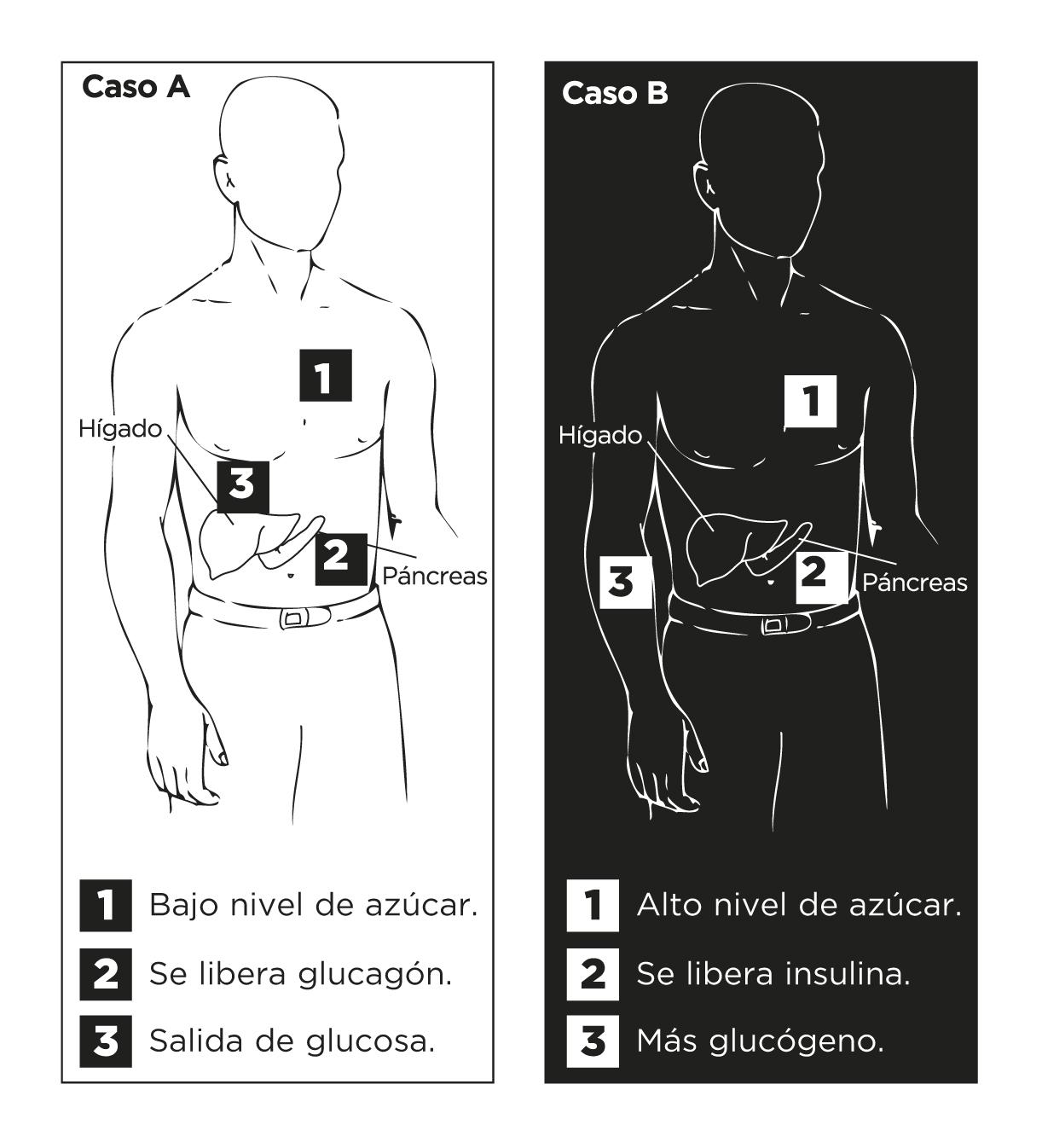 Reacciones del cuerpo humano en función del nivel de glucosa.