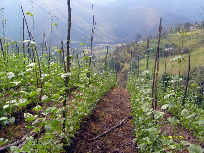Cultivo de frijol for Sustrato para mesa de cultivo