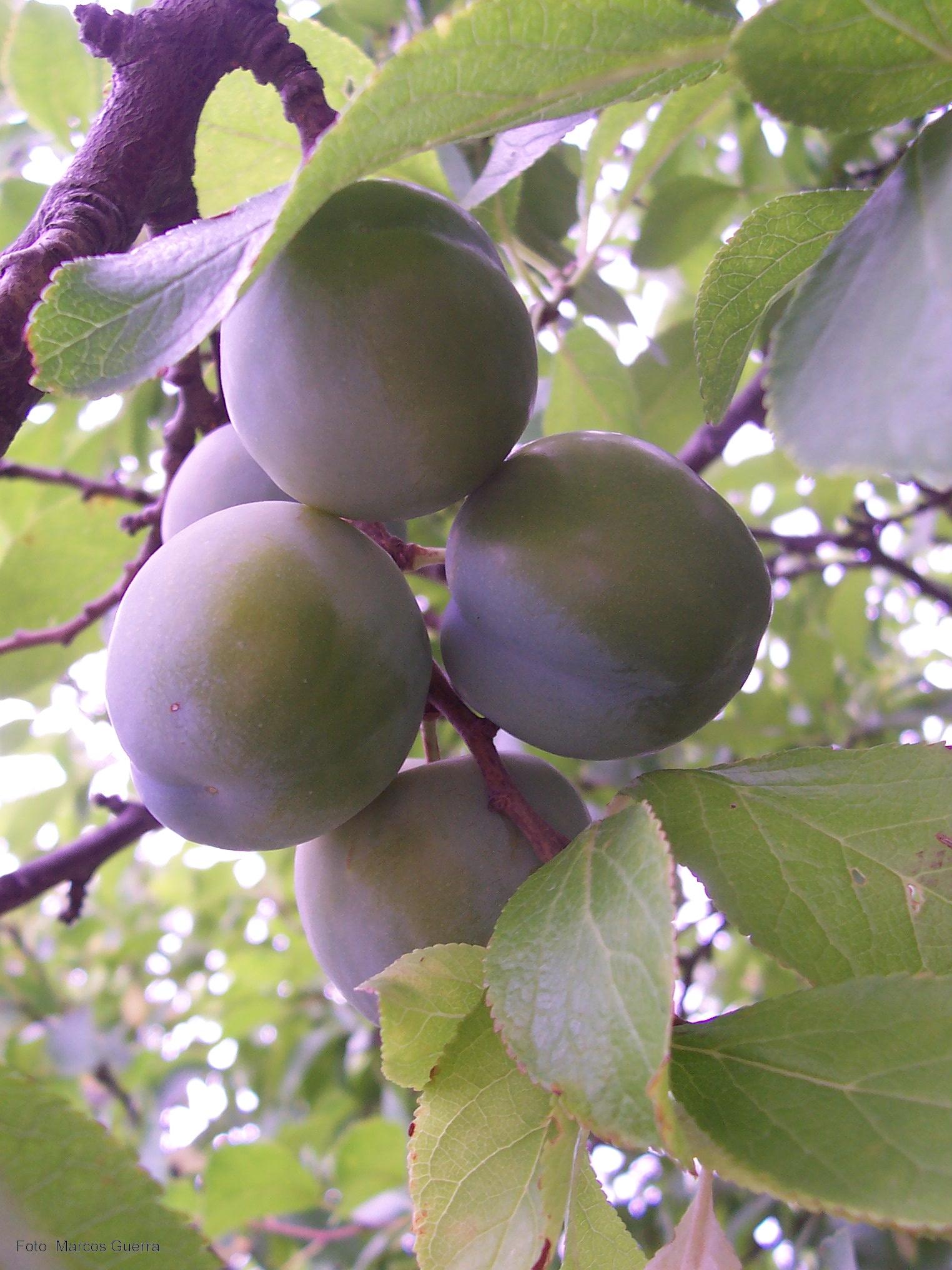 Prendizext especies de frutales for Ciruela santa rosa