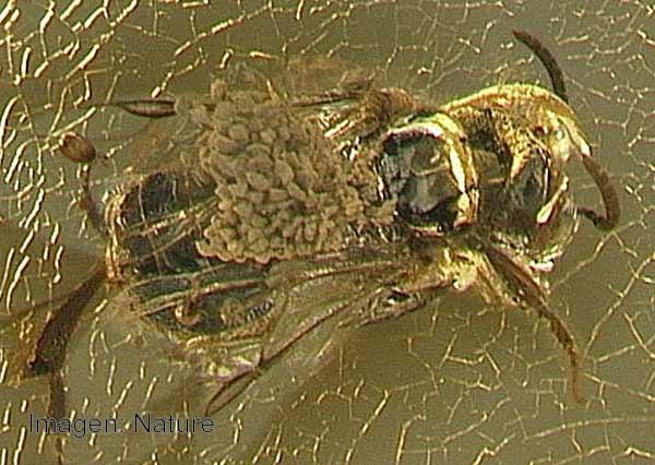 Abeja con polen de orquídea sobre su dorso, cubierta por ámbar. (Primer fósil de esta flor registrado en el mundo).