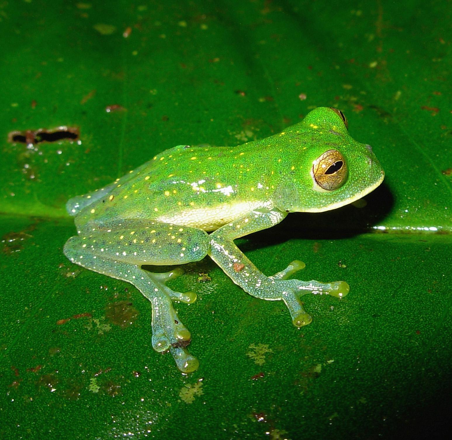 Especimen de una rana de cristal encontrada en la región del Chocó ...