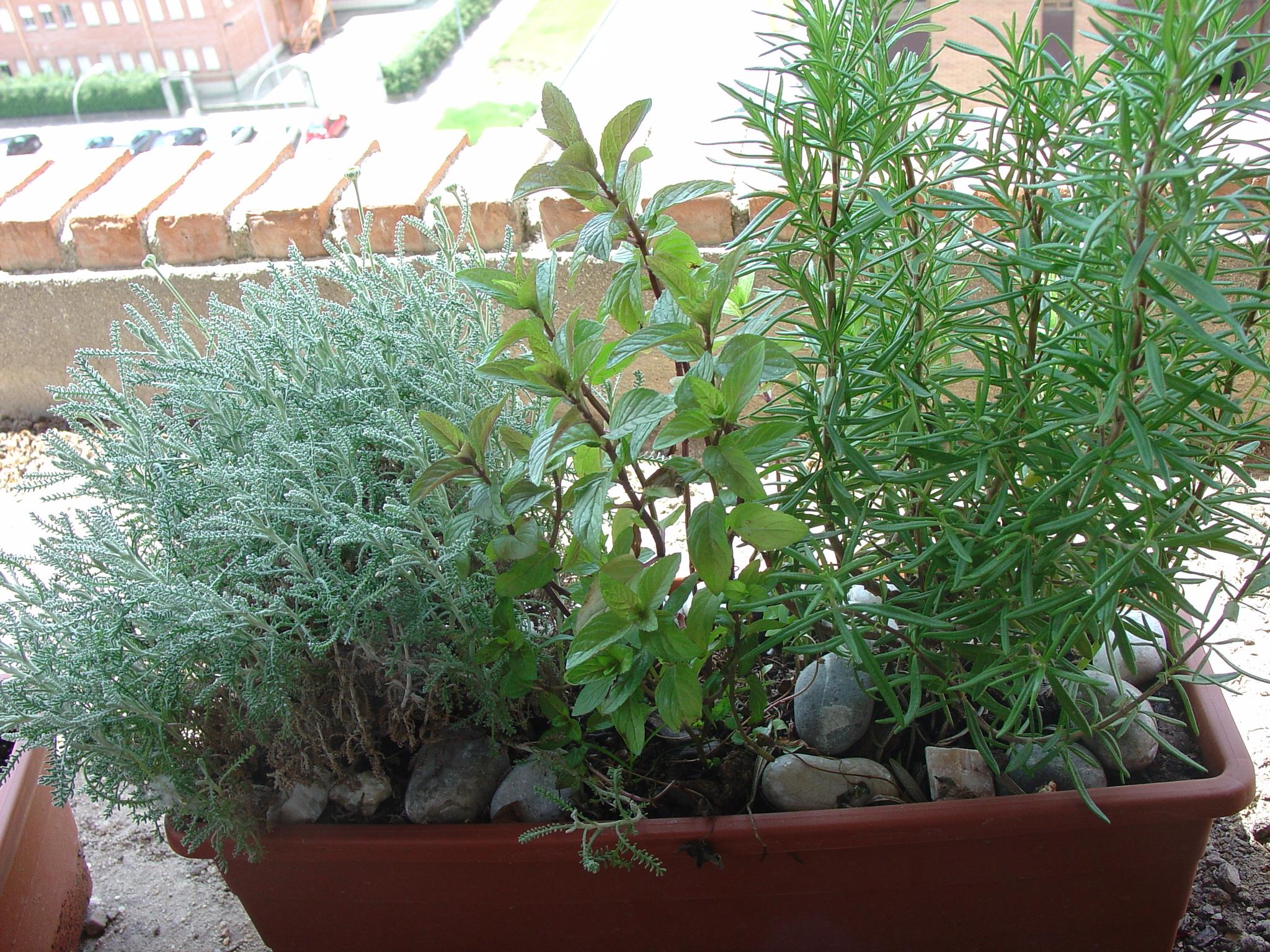 Las plantas arom ticas y medicinales plantean nuevas - Cultivo de hierbas aromaticas en casa ...