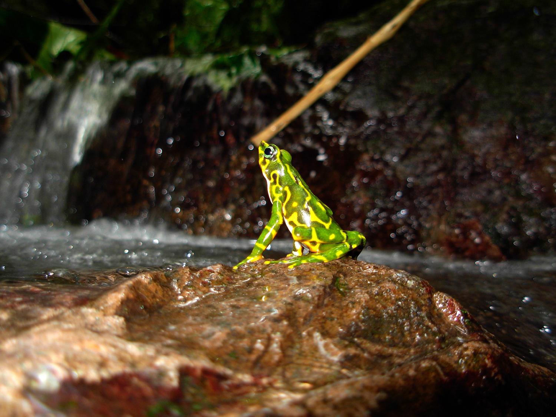 Especimen de una rana arlequín que podría no haber sido descrita ...