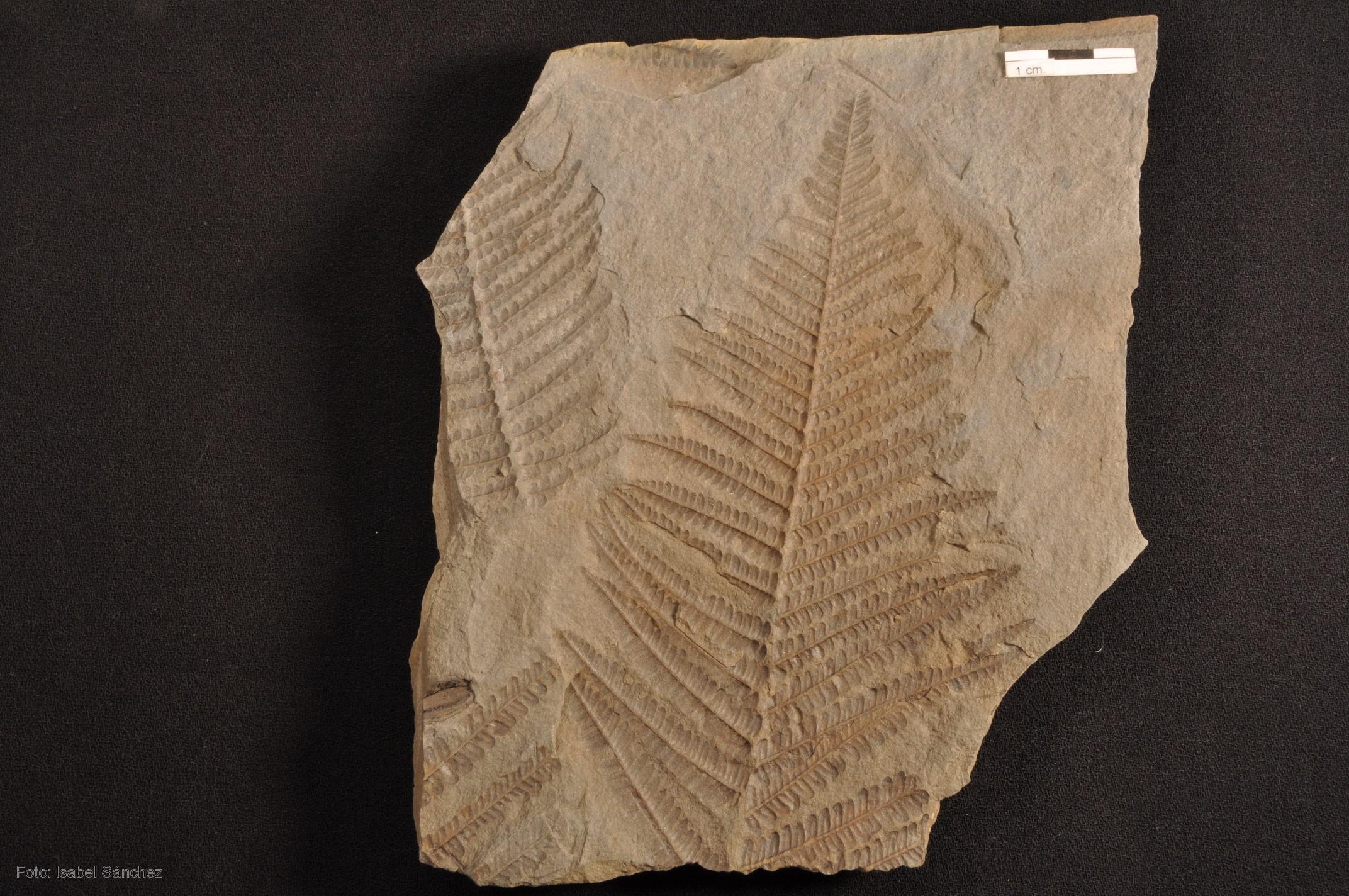 Fósil del helecho 'Pecopteris monyi', procedente de una escombrera ...