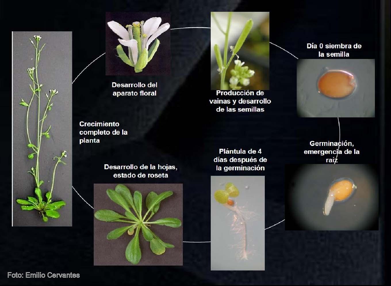 Ciclo vital de la planta modelo 'Arabidopsis thaliana'.